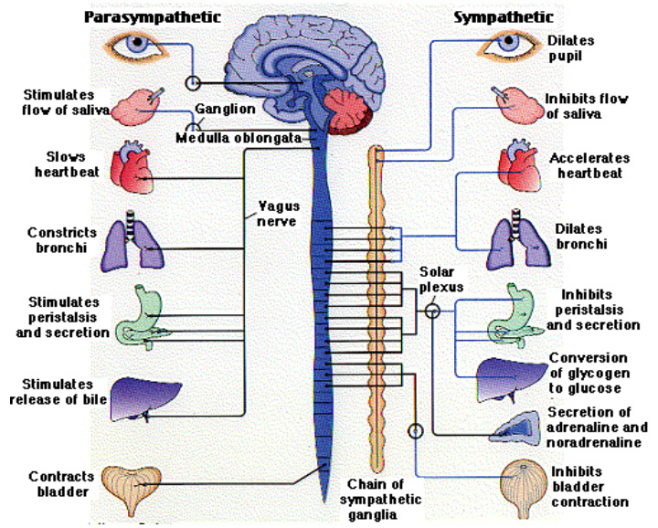 Figure 1-functioning of the Autonomic Nervous System (Biology Pages, 2003)